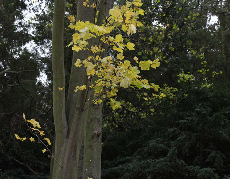 maple tree in December