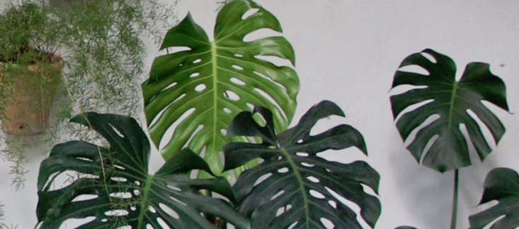 Known as the Swiss Cheese Plant because of the distinctive pattern of its leaves, a 6-inch pot of Monstera Split Leaf Philodendron is \$\27.99 via Amazon.