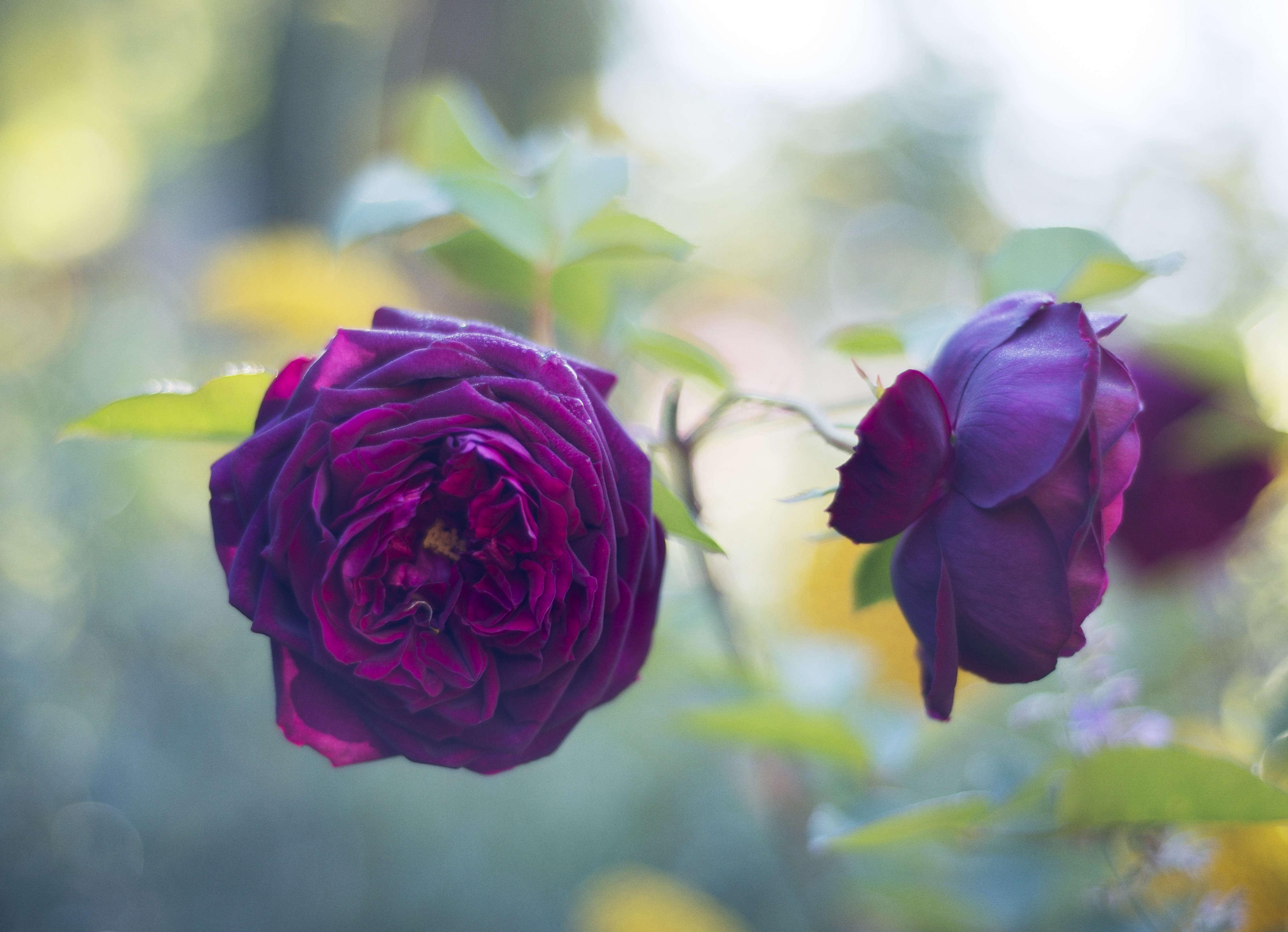 rose-the-prince-david-austin-matthew-williams-DSC-1005