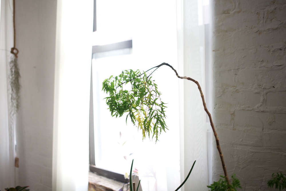 "Simon-Alexander bought this plant from Ikea when she first moved into her Williamsburg loft; it had four stalks, and only one survived. ""It looks like a bamboo,"" she said, ""but I think it's a Japanese maple of some sort."""