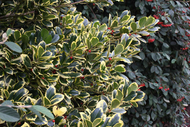 variegated-holly-anglesey-abbey-2