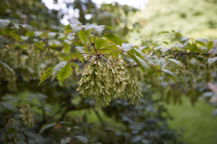Vine-leafed maple
