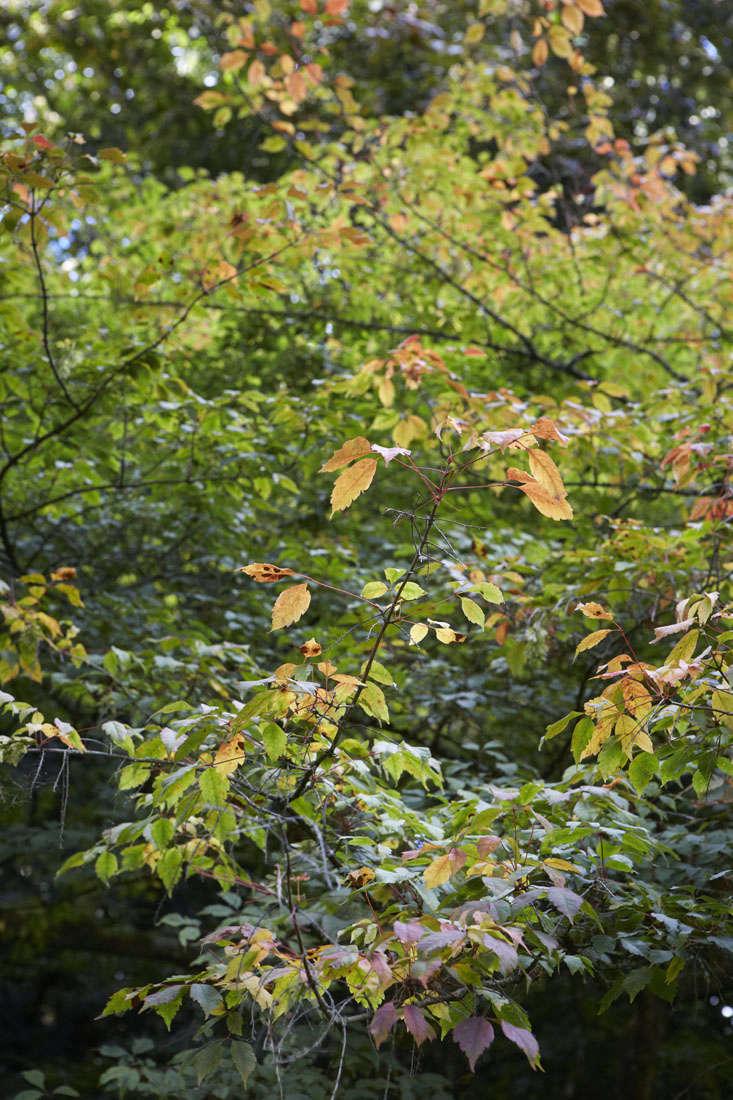 vine-leafed-maple-britt-dyer