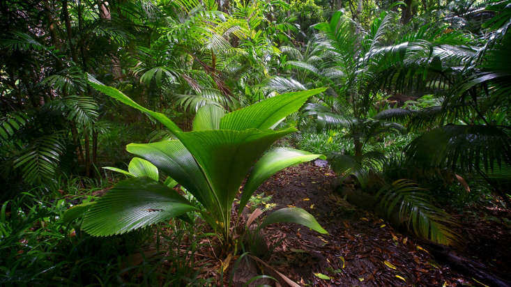 Johannesteijsmannia altifrons is a fan palm, native to tropical rain forests, and grows without a central trunk. See more in Required Reading: W. S. Merwin, the Poet Gardener. Photograph courtesy of the University of South Carolina Press.