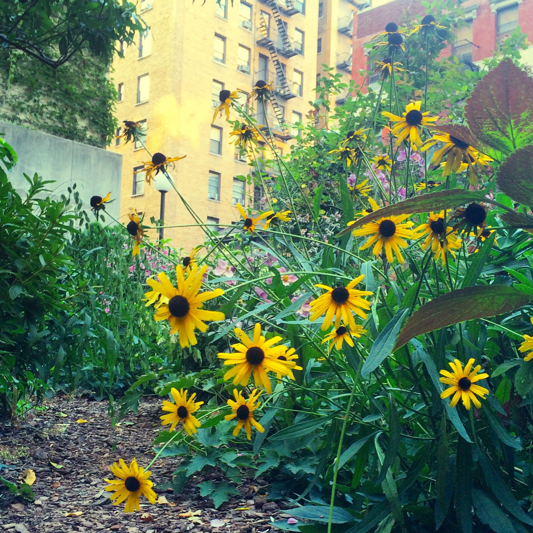 Hardy coleus, black-eyed Susan (Rudbeckia hirta), and Japanese anemones grow alongside a mulched path.