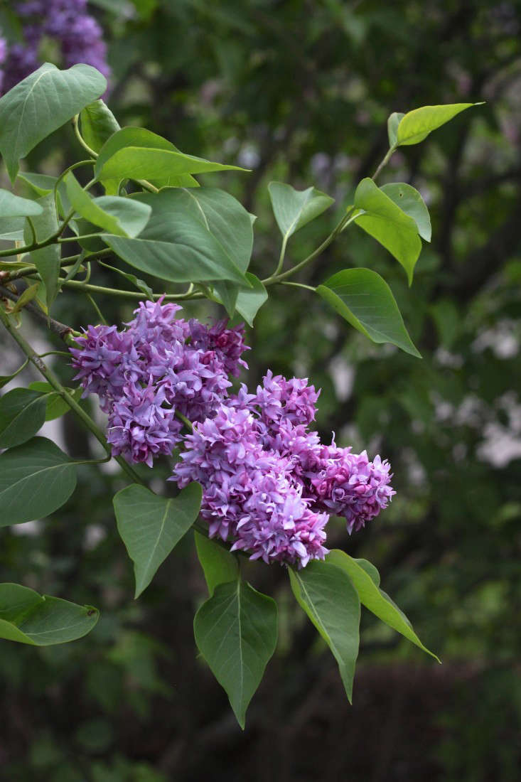 Syringa vulgaris 'Jean Bart' has a striking double flower in dark magenta. Photograph by Justine Hand.ccc