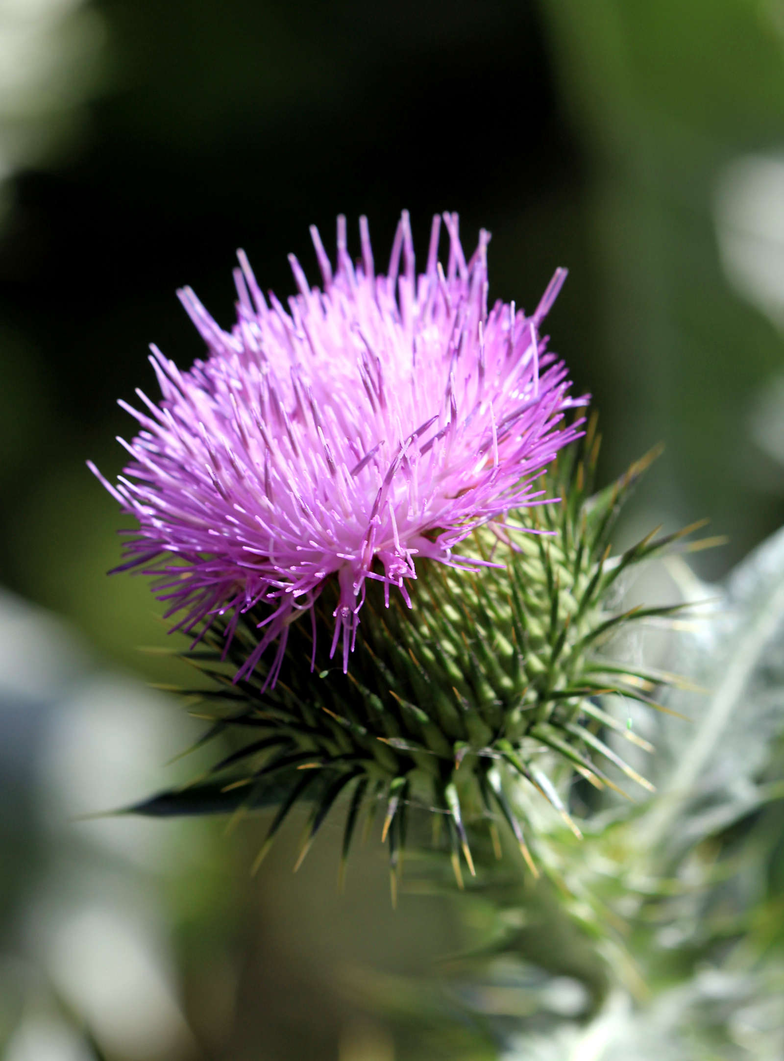 European native Scotch thistle (Onopordum acanthium) is considered an invasive nuisance in the United States. Photograph by Kareljvia Wikimedia.