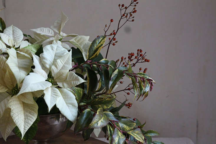If you snip stems off a poinsettia plant, &#8