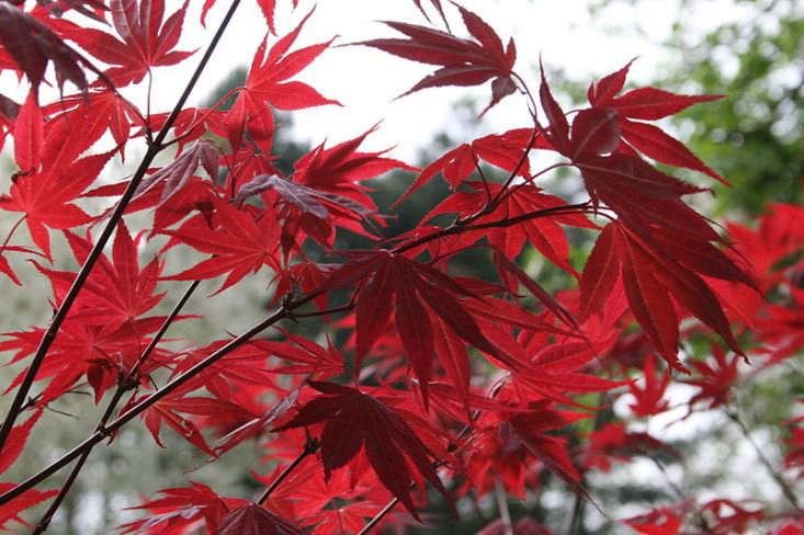 acer-palmatum-japanese-maple-oshio-beni-jean-pol-grandmont-wikimedia