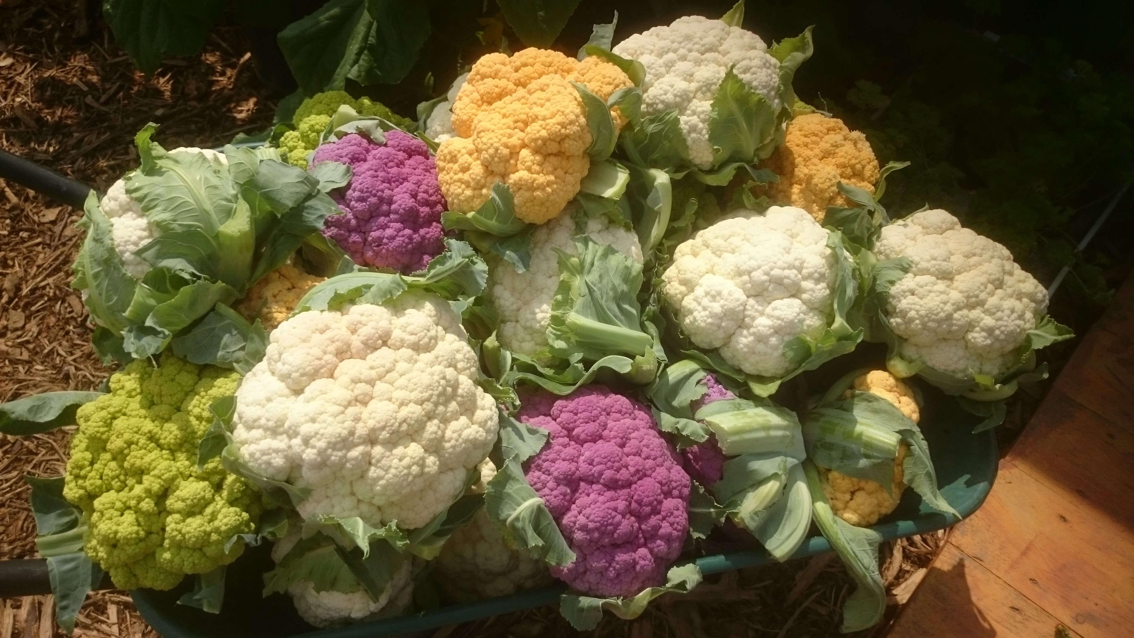 cauliflowers-white-purple-yellow-dirk-ingo-franke-wikimedia
