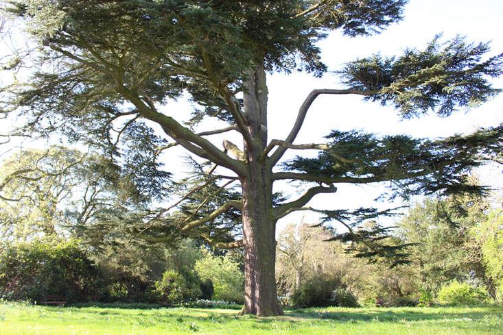 Cedar of Lebanon tree at Doddington Hall, England