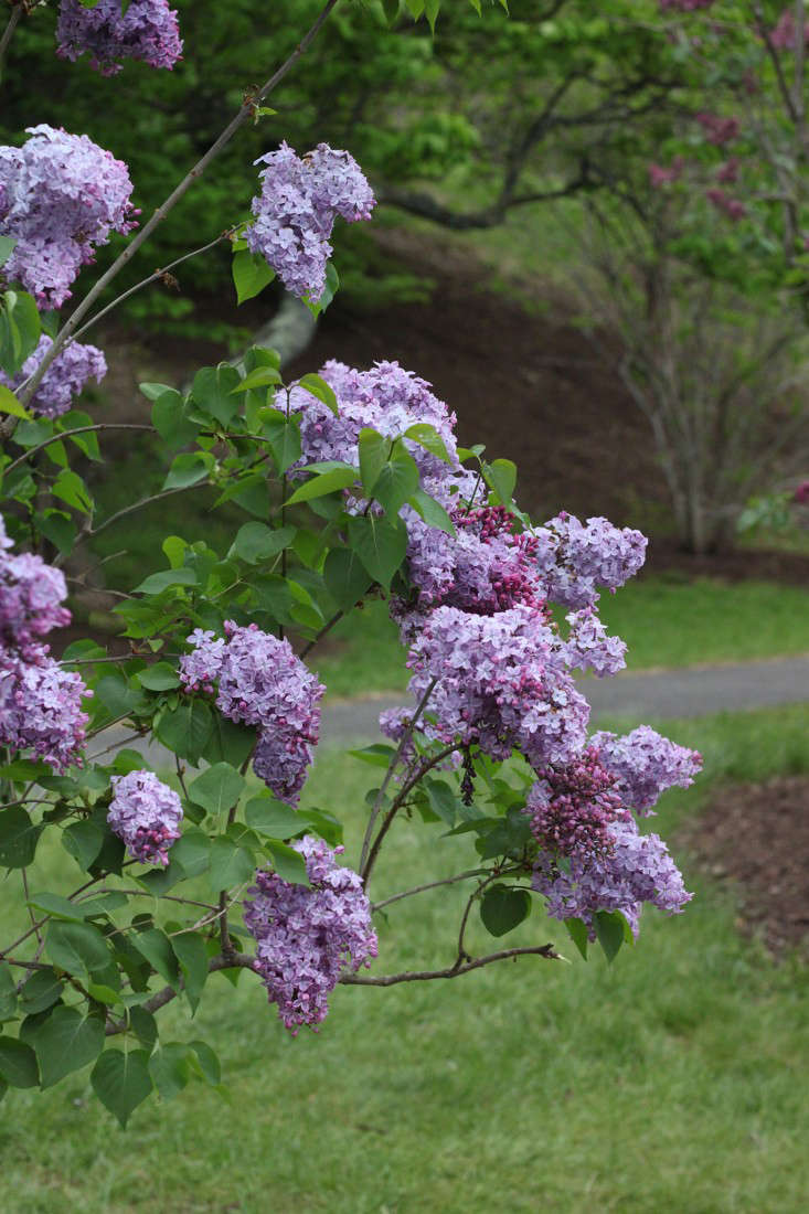 Photograph by Justine Hand.  Syringa chinensis 'Lilac Sunday' was cultivated from a seed supplied by the Beijing Botanical Garden and named after theArnold Arboretum&#8
