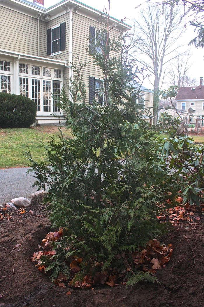 diy-live-christmas-tree-mulch