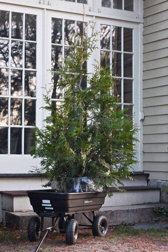 diy-living-christmas-tree-giant-thuja