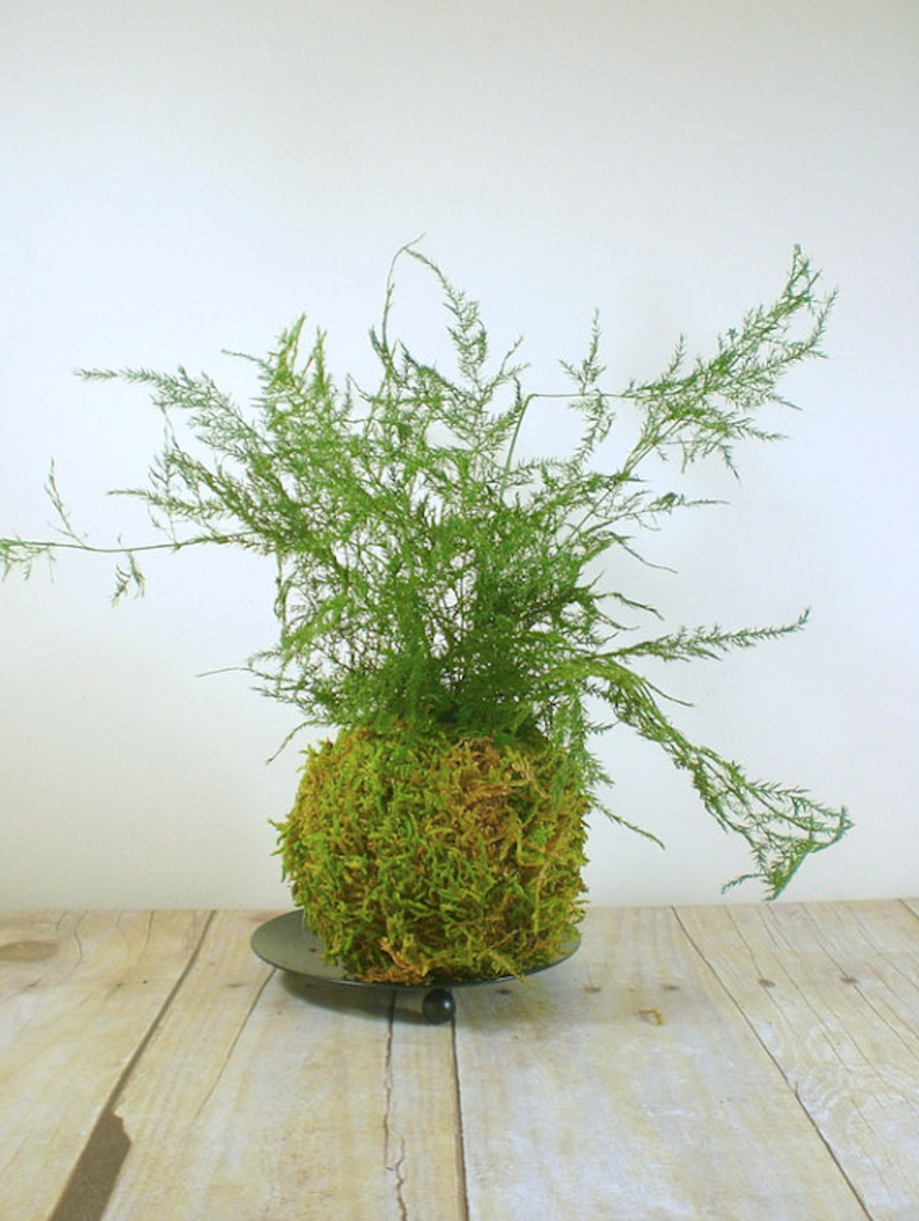 Asparagus Fern Kokedama by Etsy Seller Trinkets and Words and asparagus ferns
