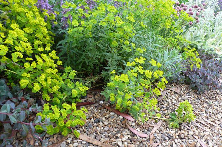 euphorbia-beth-chatto-garden
