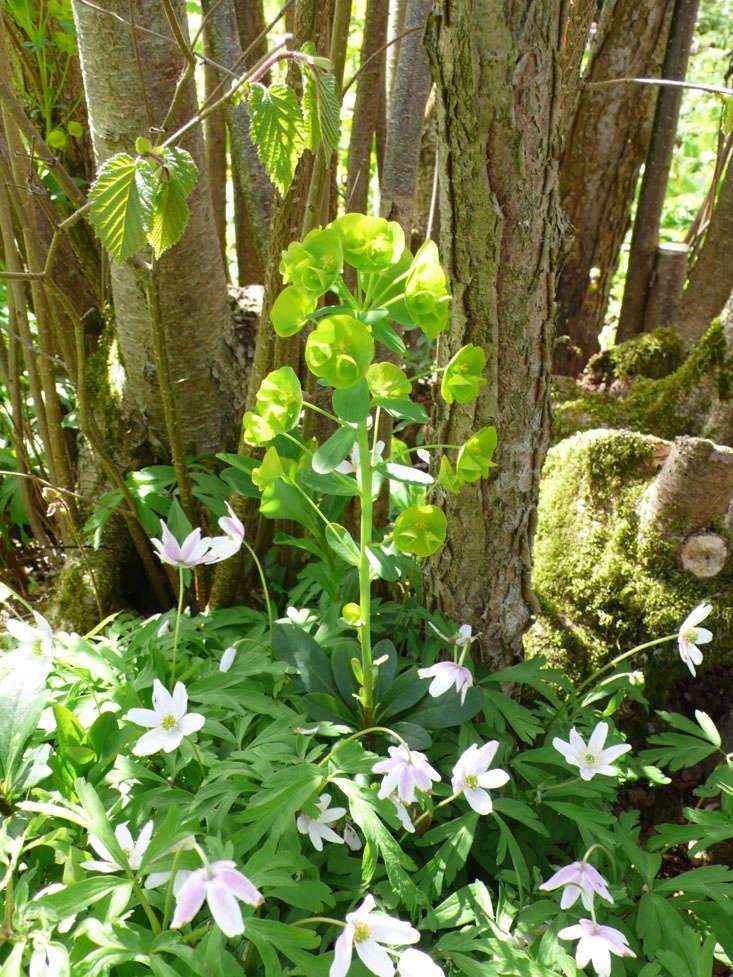euphorbia-wood-spurge-sissinghurst