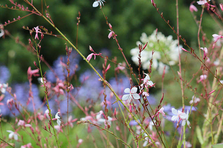 Gaura lindheimeri, also known as wand flower, attracts butterflies. Photograph by Marie Viljoen.