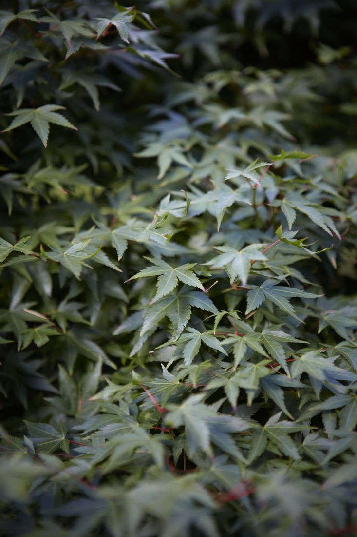 Acer palmatum 'Kara Ori'