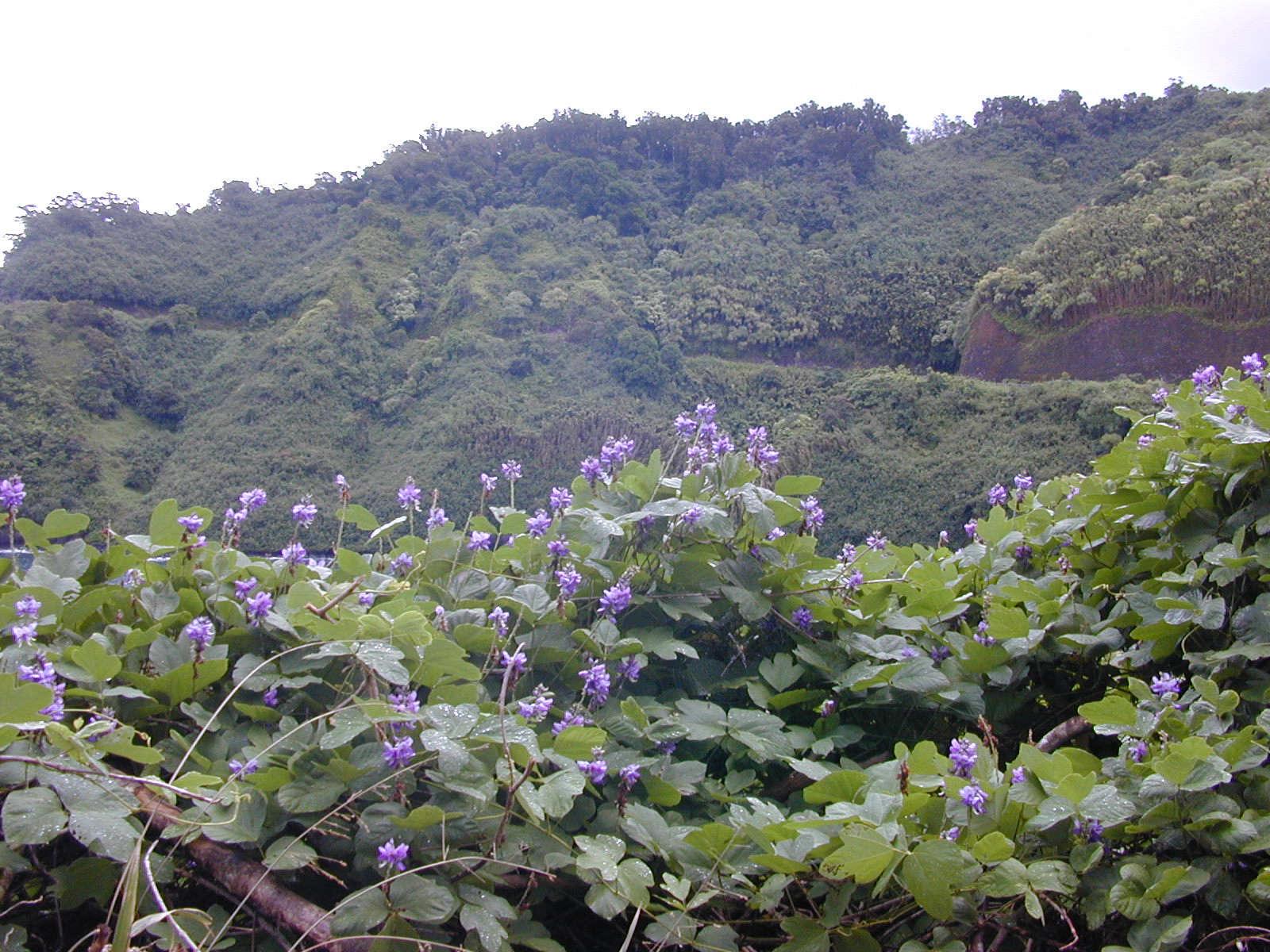 kudzu-flowers-forest-kim-starr-wikimedia