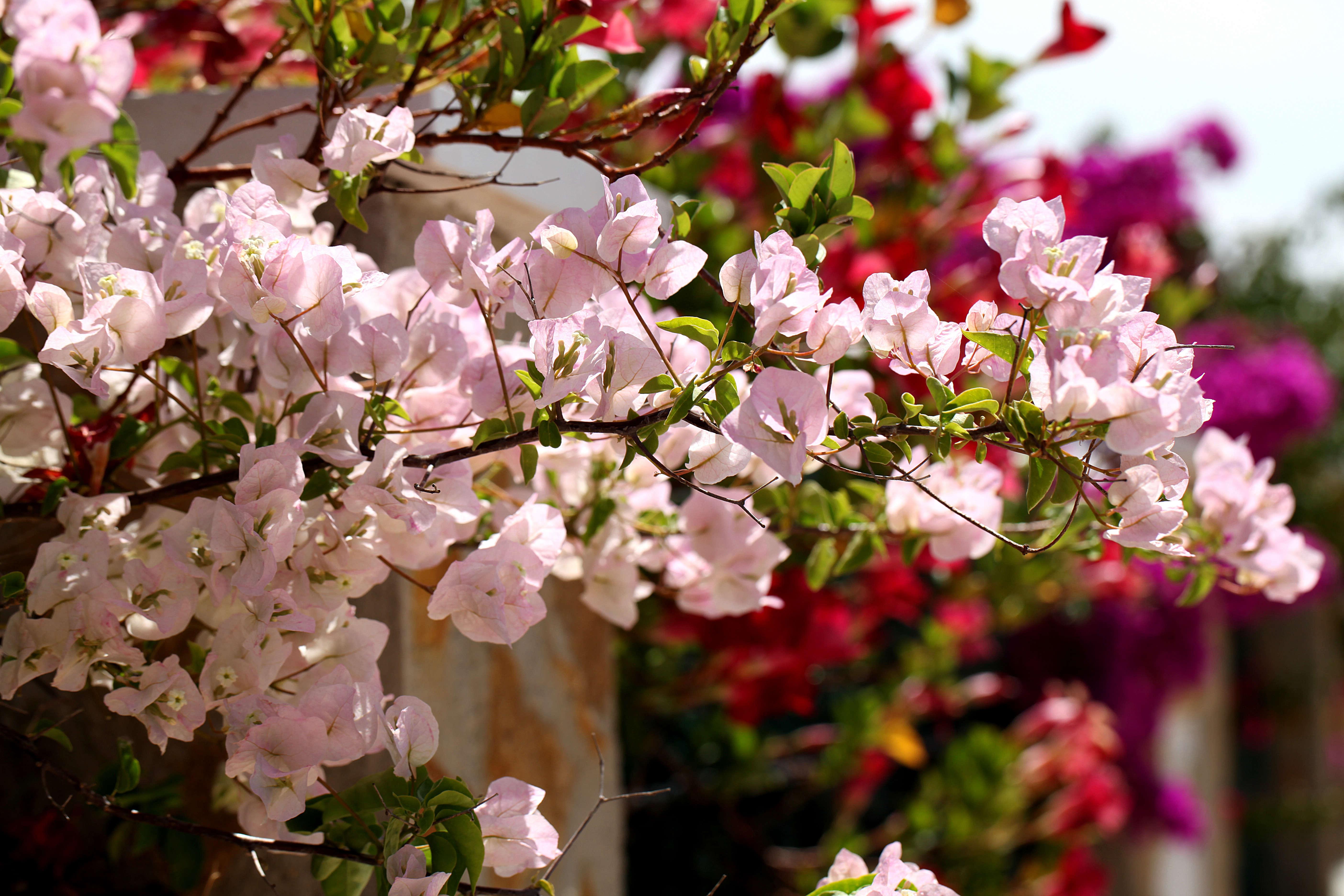 pink-bougainvillea-keith-williamson-flickr