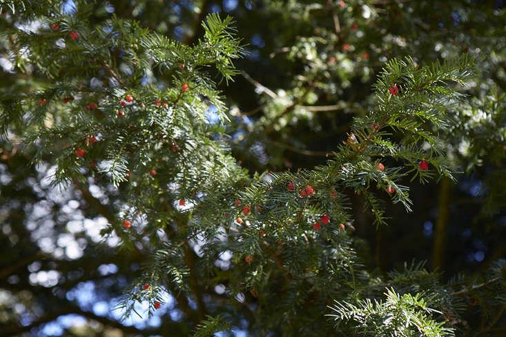 Gardening 101: Yew Tree
