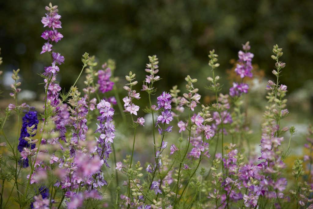 Larkspur growing in the flower field