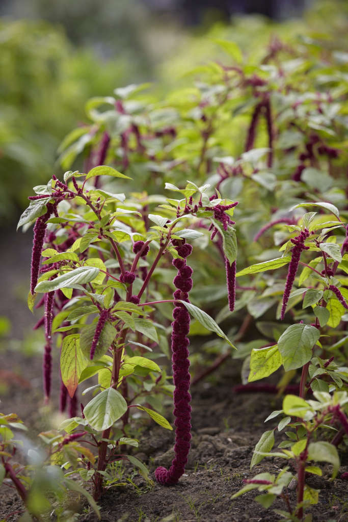 Fiona grows rows of Amaranth which, when cut and arrange, drapes gracefully over any urn or vessel edge.