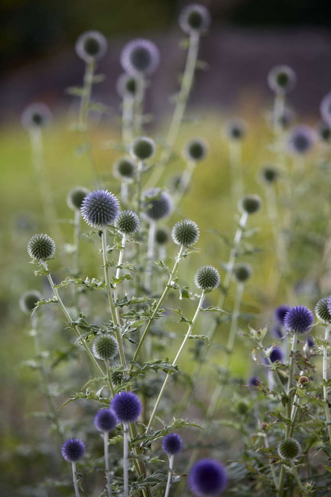 Echinops has wonderful blue/silver globes which add fun and structure to any arrangement