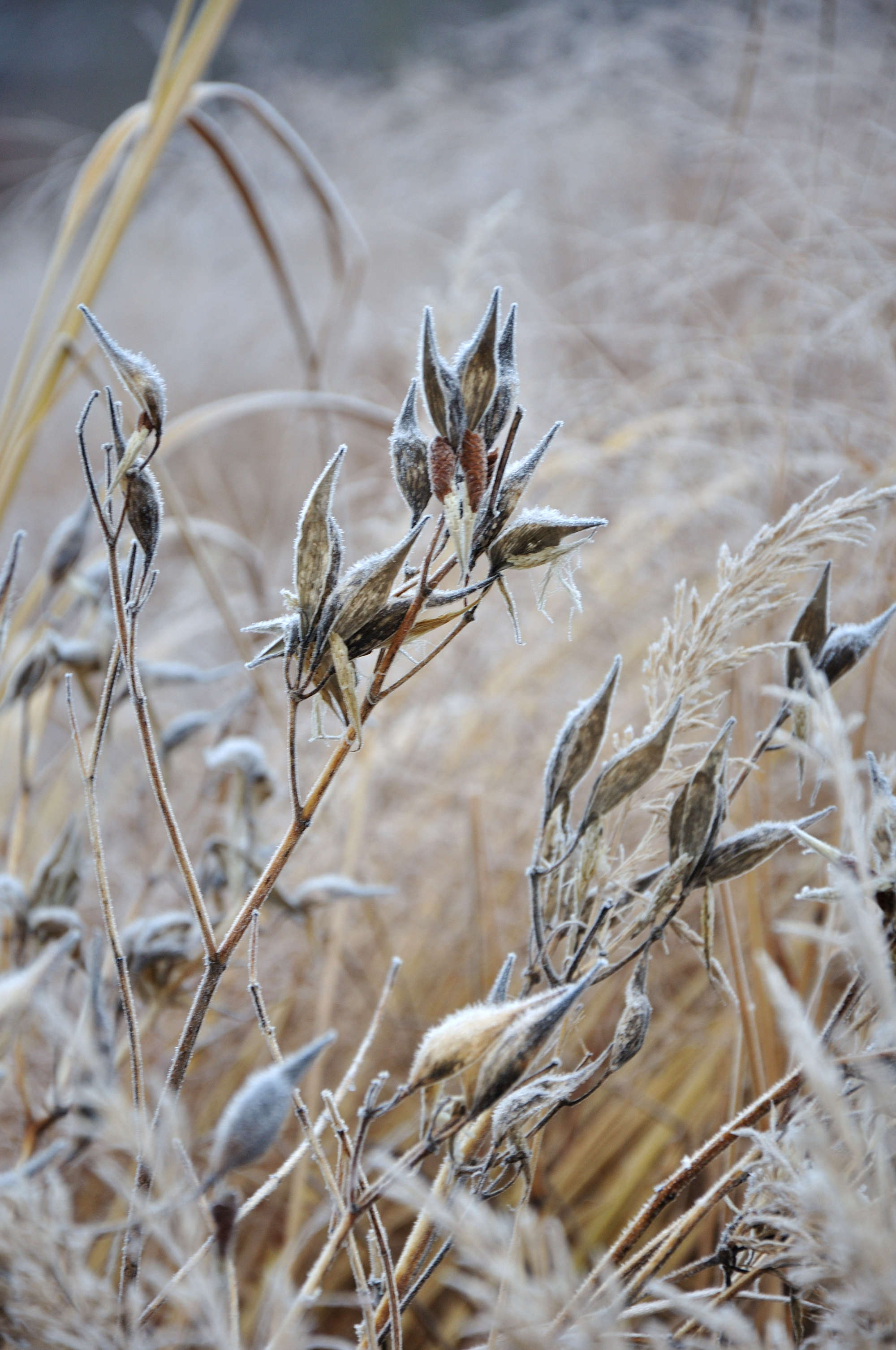 Playful Asclepias 'Ice Ballet' (milkweed) mimics fox ears or fish tails.