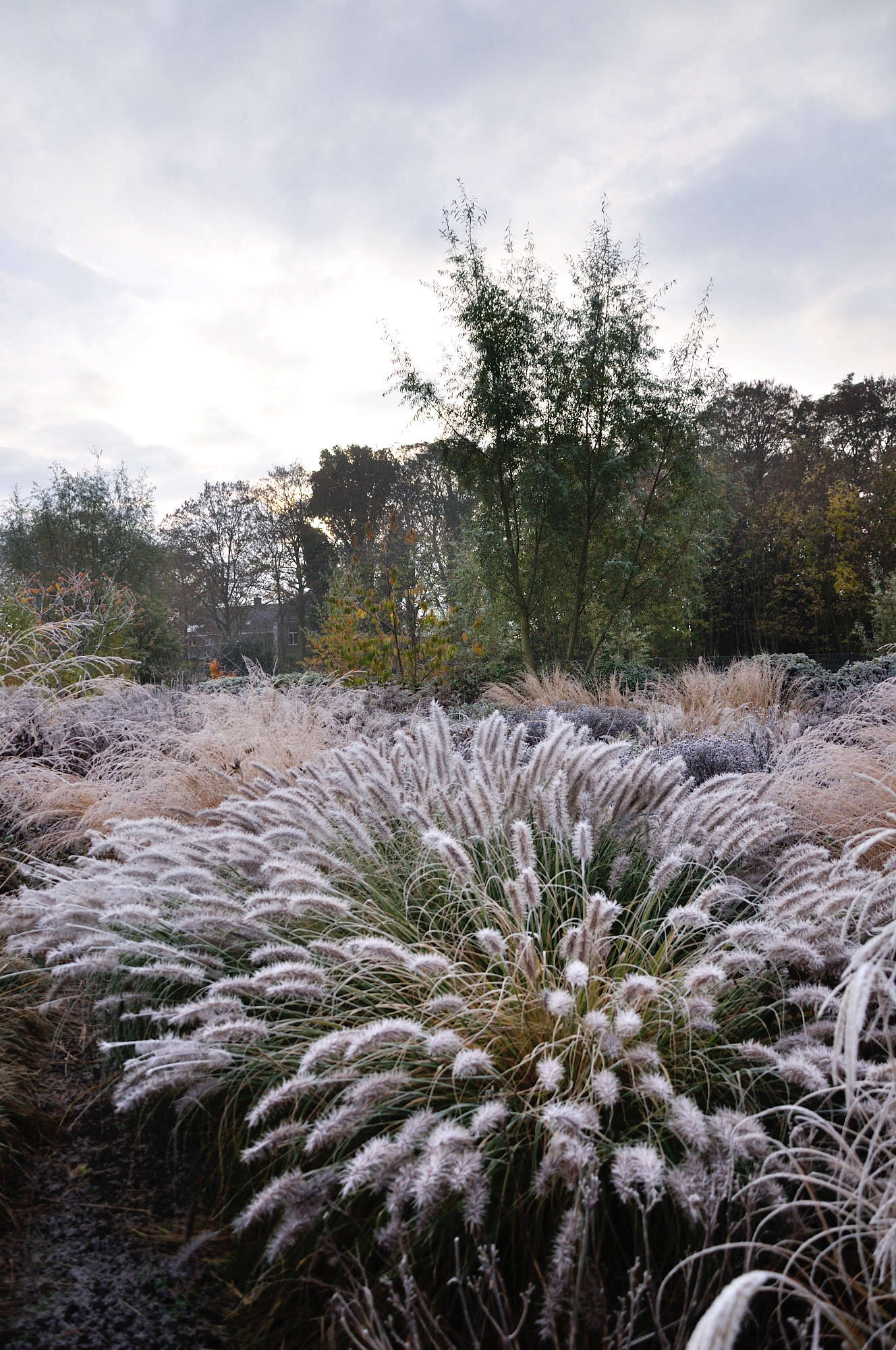 The pompom heads of Pennisetum are even prettier with a dusting of frost.