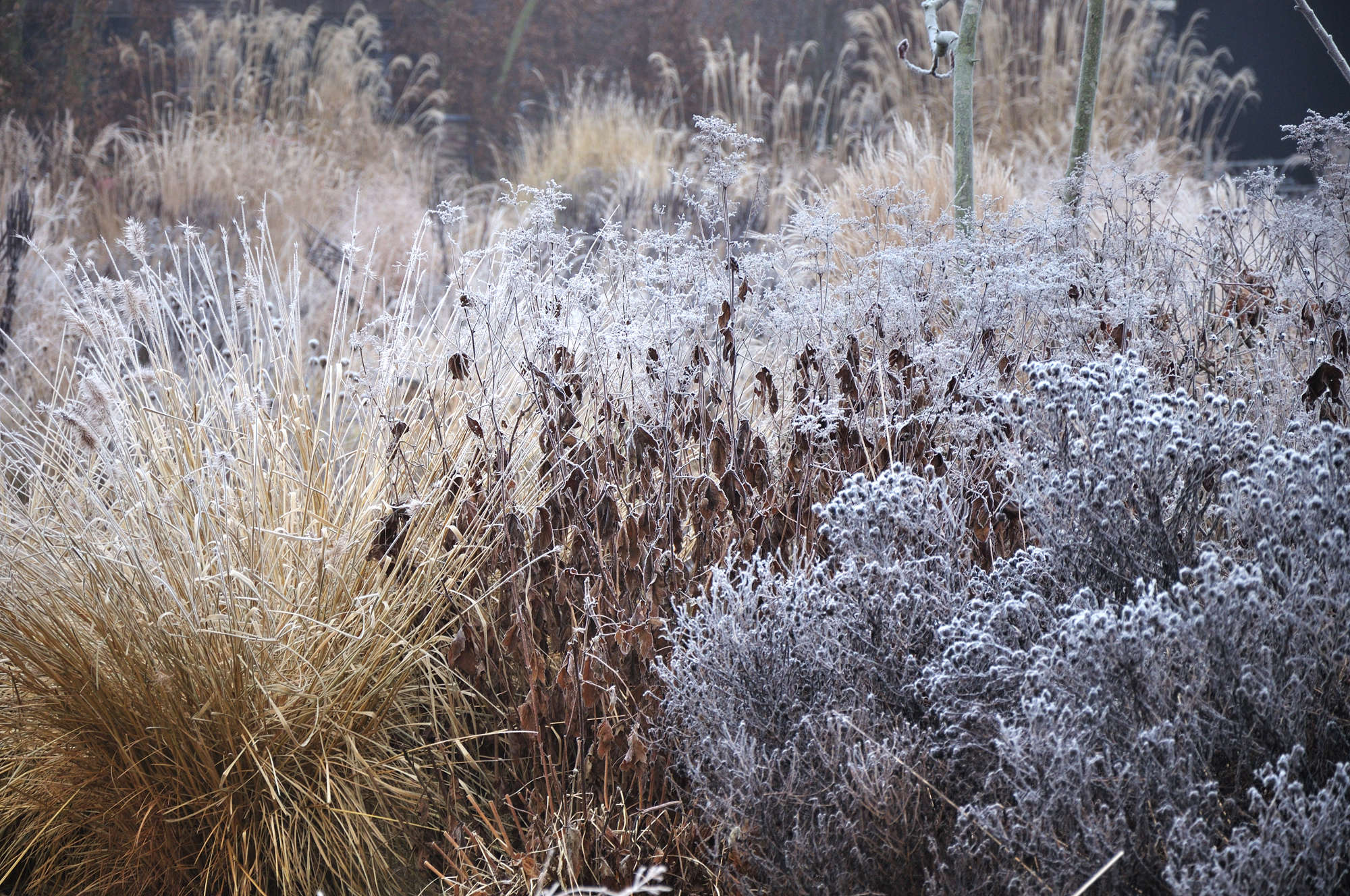 Feathery textures of dried grasses and desiccated asters create a dynamic winter garden.