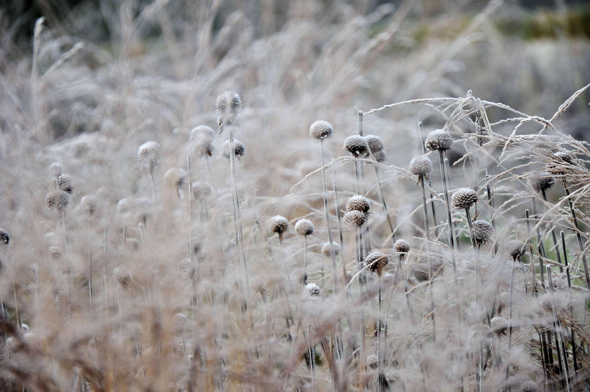 The stiff skeletons of Monarda 'Prairienacht' emerge from a veil of feathery Panicum virgatum 'Shenandoah'.