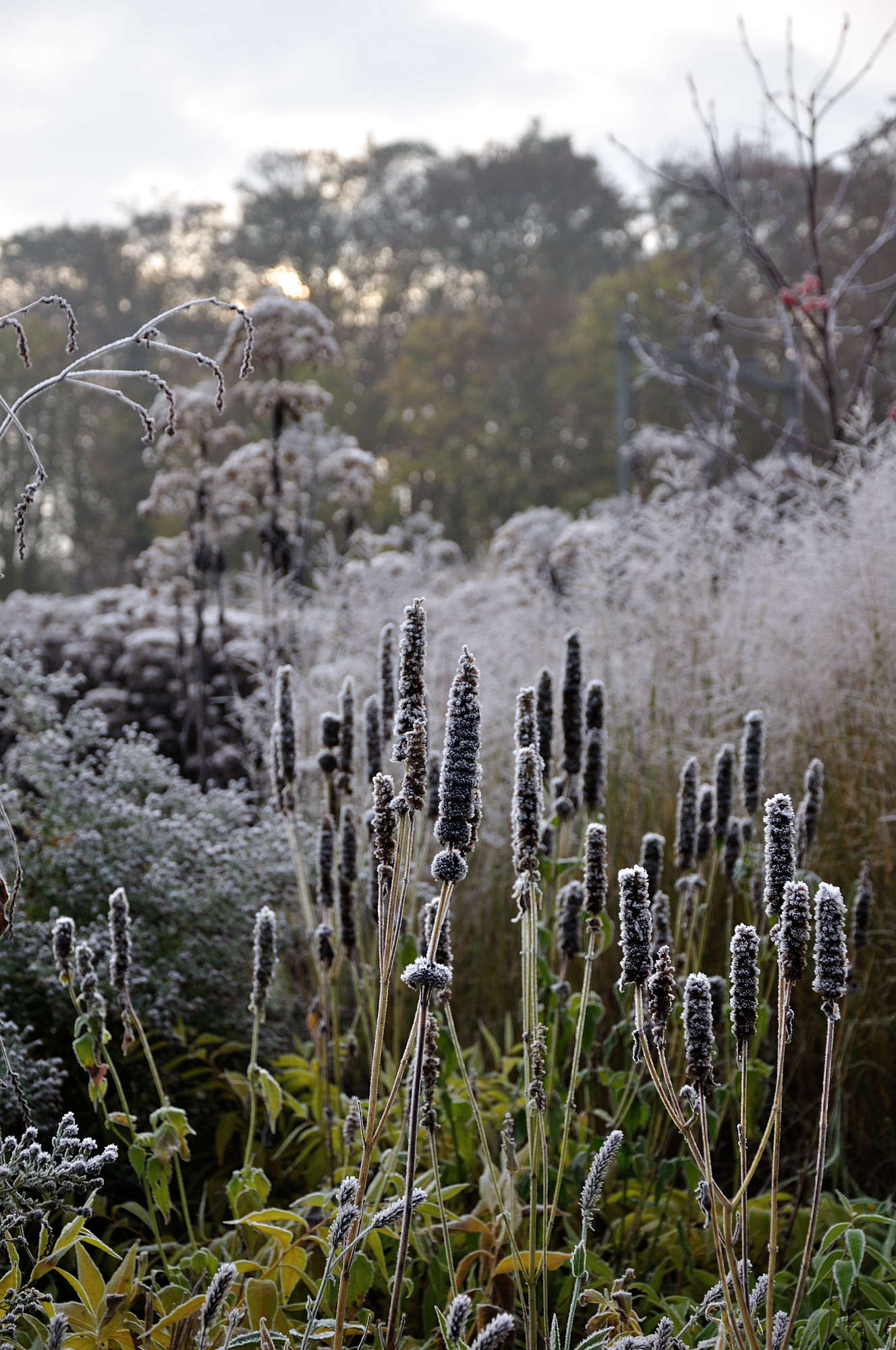 Now a dramatic black, the once purple cones of Agastache 'Black Adder' still stand tall in the frosty winter garden.
