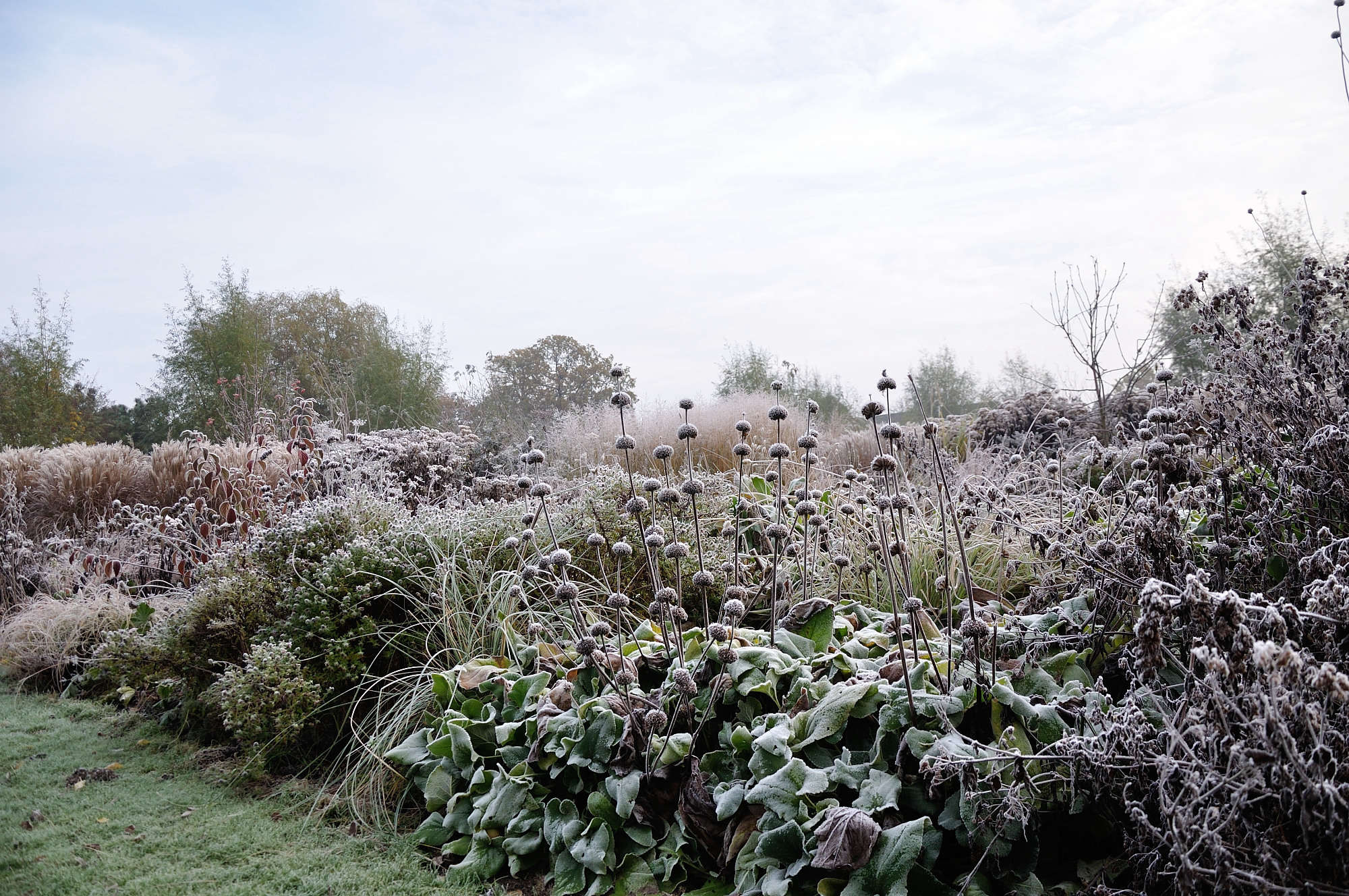 A similar border garden in winter, when the regal heads of Phlomis take on a silver sheen.
