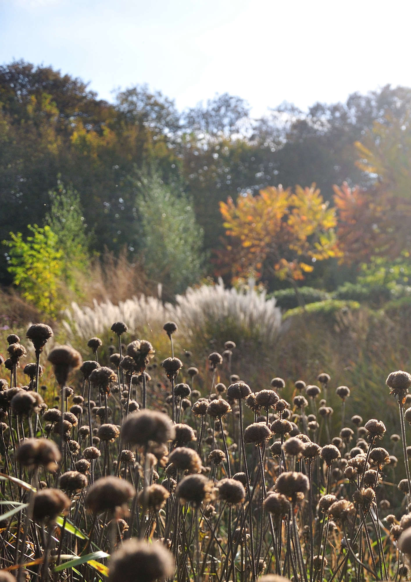Like spectators at the ballet, crowds of Monarda 'Croftway Pink' seedheads watch a changing fall landscape.