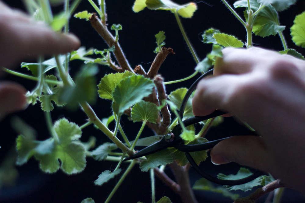 scented geranium-leaves how to make sachet tea 2