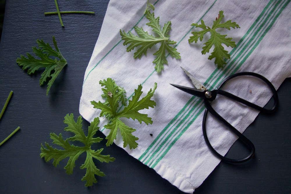 scented geranium leaves how to make sachet tea 3
