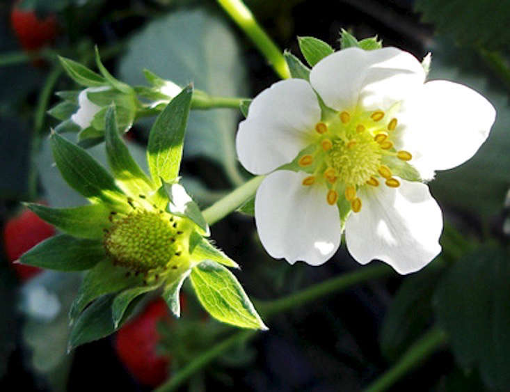 strawberry-flower-moja-commonswiki-wikimedia