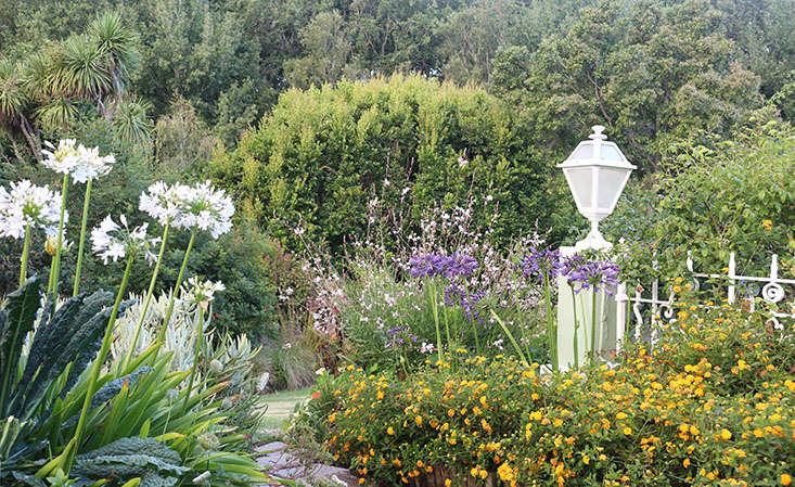agapanthus-in-garden-marie-viljoen