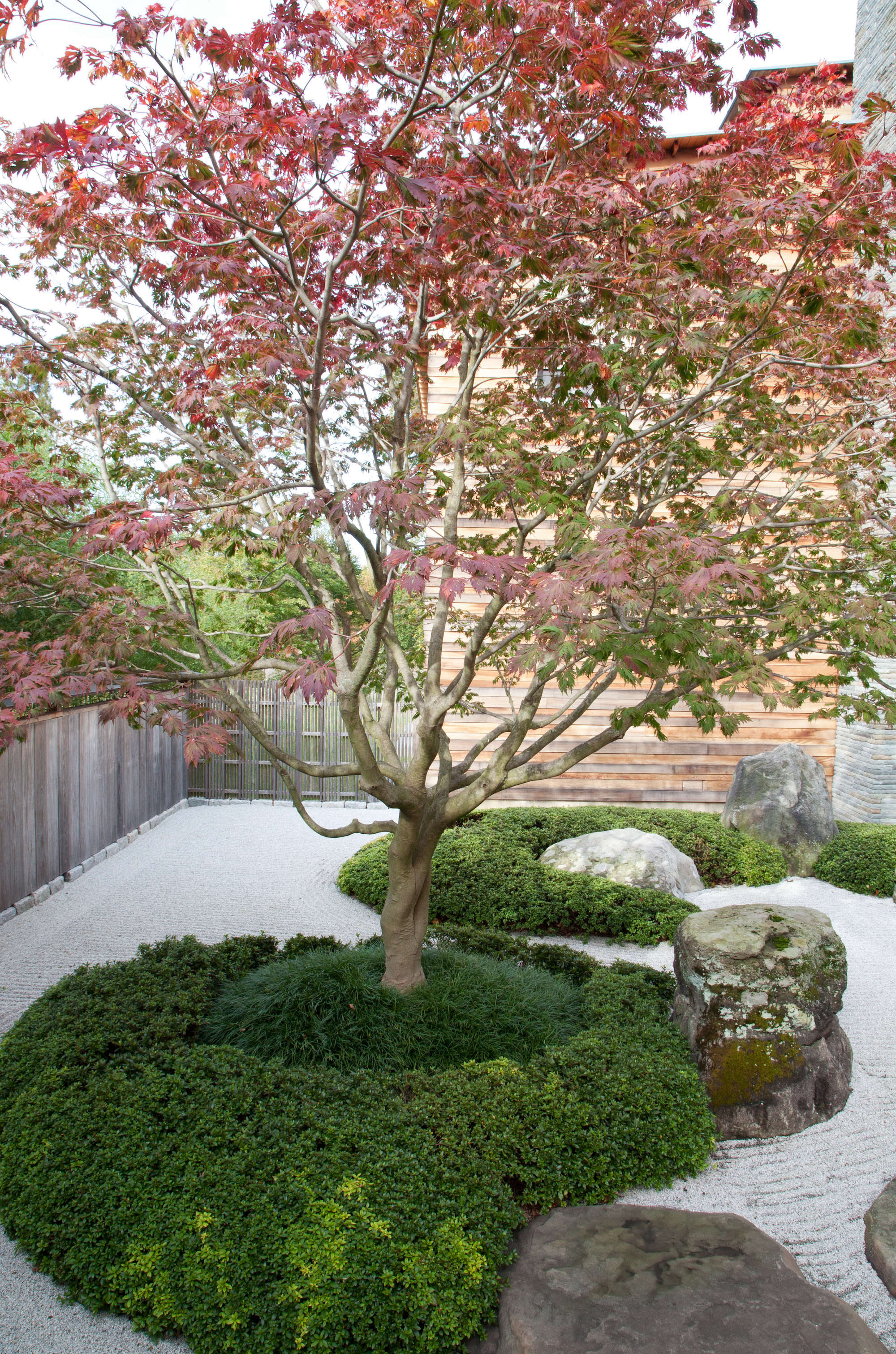 An island of mondo grass and small-leafed azalea surrounds a Japanese maple tree.