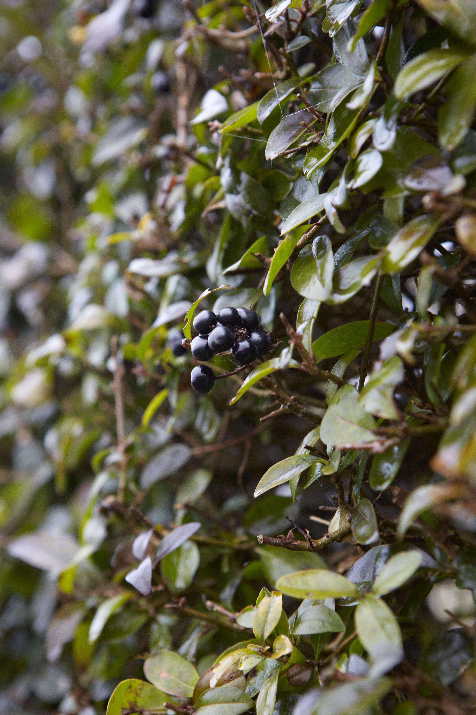 black-privet-berries-leaves-britt-willoughby-dyer-january-bn2a0003