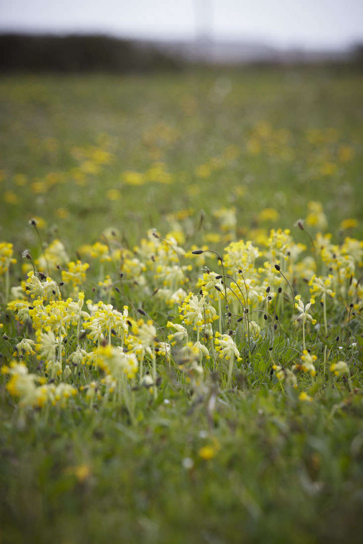 cowslip-meadow-britt-dyer-1