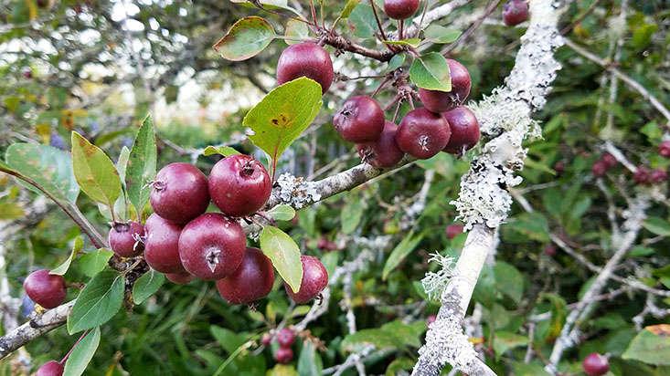 crabapple-fruit-on-tree-marie-viljoen