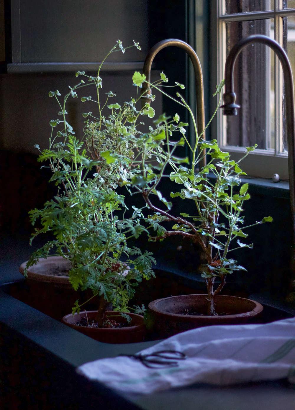 dried scented geranium leaves 1