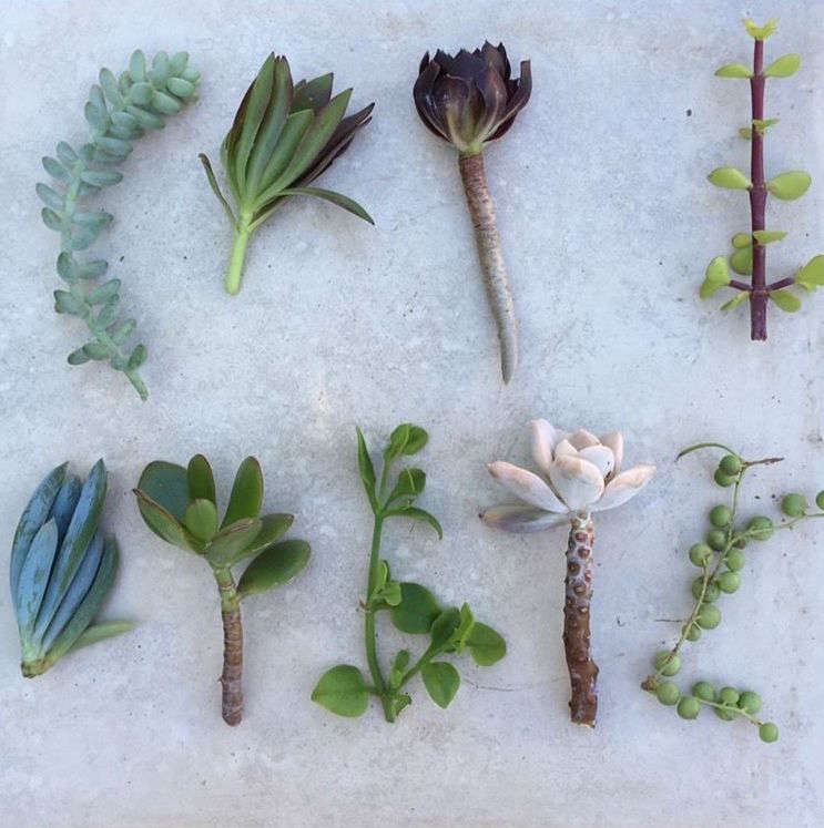 A strand (shown at lower right) complements other succulents in a pot or planter. Thecollection ofSucculent Cuttings is\$\24.99 oneBay.