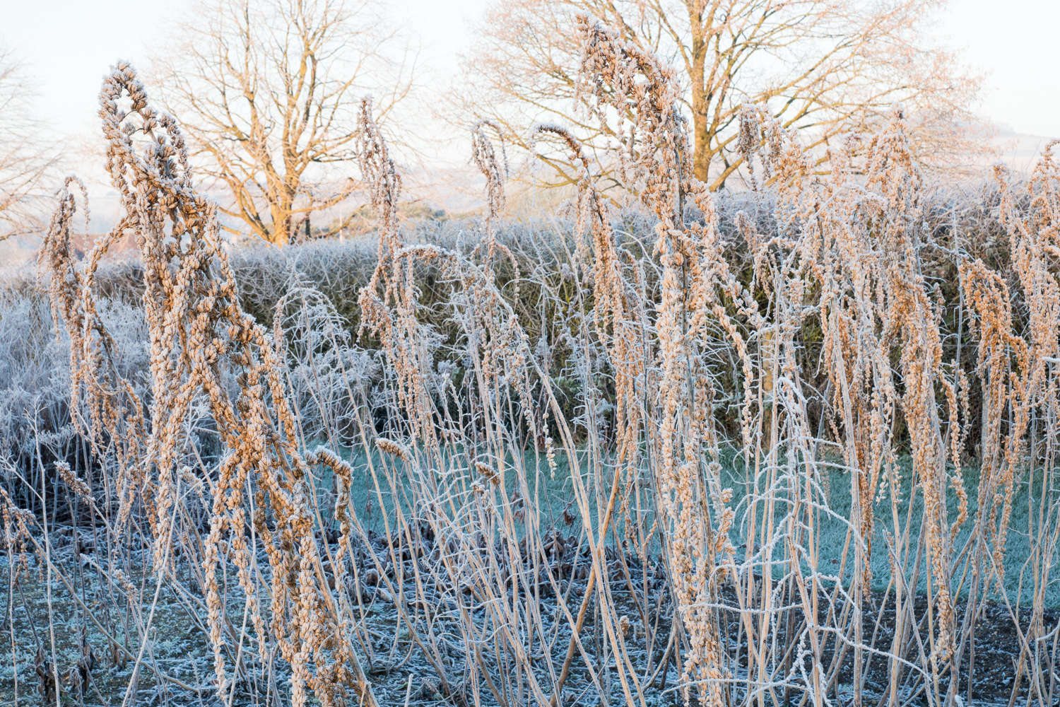 Frosted seed heads of Datisca cannabina