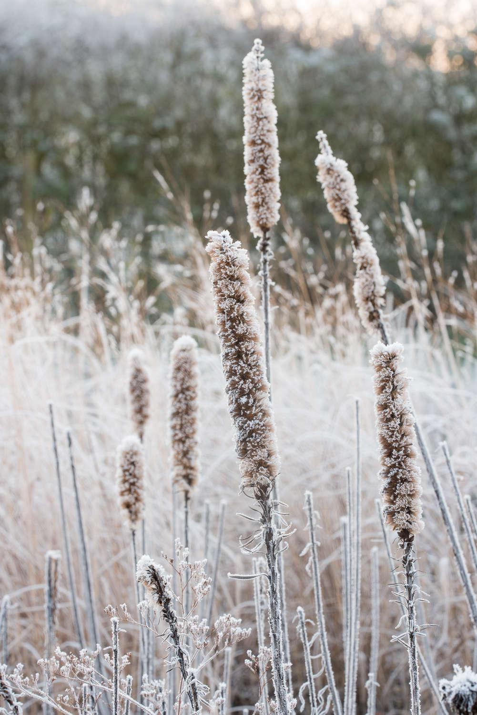 Seed heads of Agastache 'Black Adder' in Winter