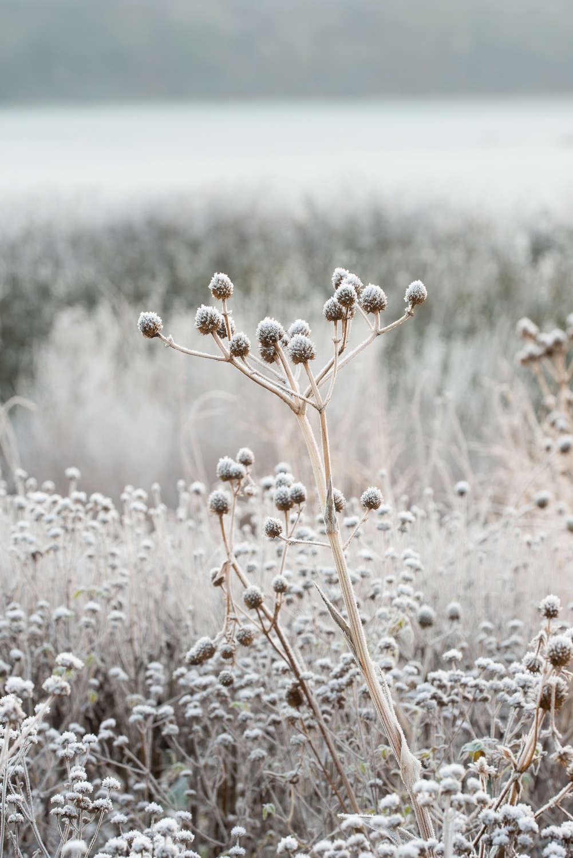 Eryngium yuccifolium seed head - Oudolf field, Hauser and Wirth Somerset