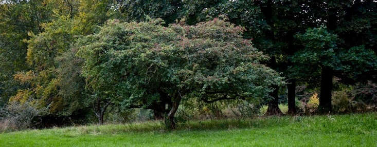 With their strongly horizontal silhouettes, in prairie-style gardens hawthorn trees frequently &#8